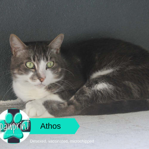Athos - Domestic Short Hair Cat