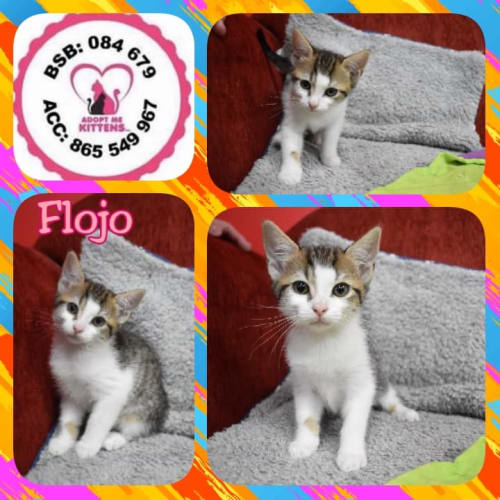 Flo Jo - Domestic Short Hair Cat
