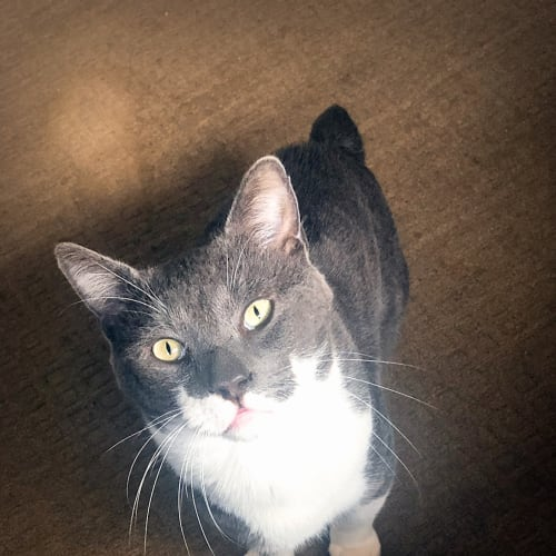Shogun - Manx Cat