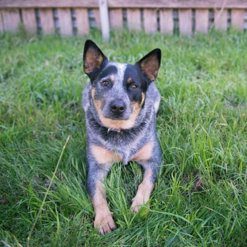 Cody ~ 1 & 1/2 year old Cattle Dog X - Cattle Dog