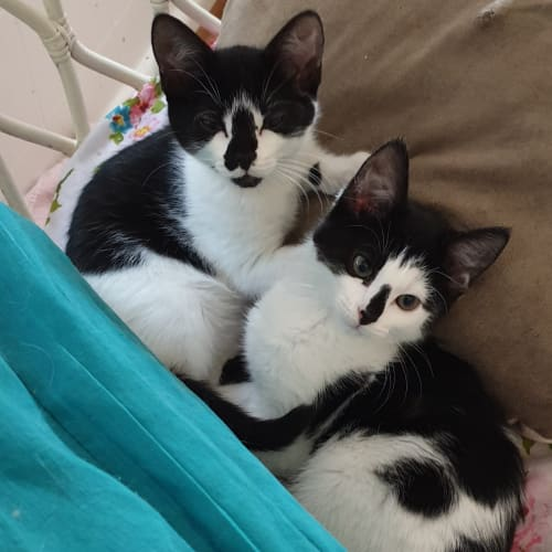 Lizzie & Vincent (Located in Ringwood East) - Domestic Short Hair Cat