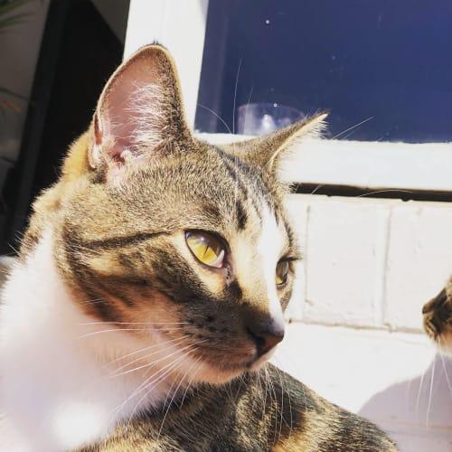 Edric (Located in Elsternwick) - Domestic Short Hair Cat