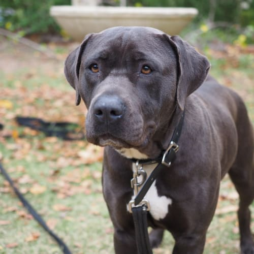 Audrey - Mastiff Dog