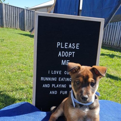Tooheys - Dog of the week! - Australian Stumpy Tail Cattle Dog