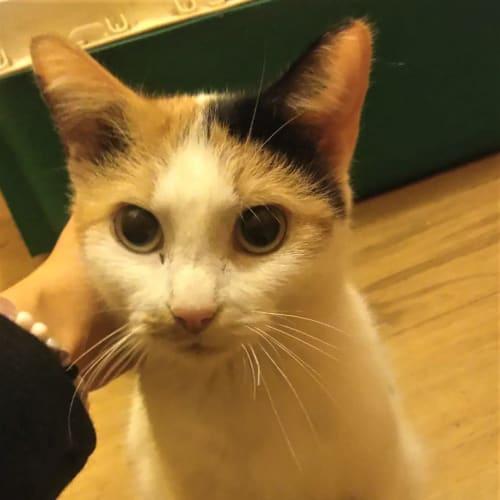 Melody - Loving Mum  - Domestic Short Hair Cat
