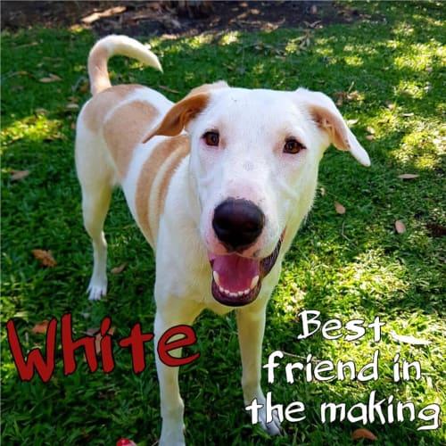 White - Kelpie x Border Collie Dog