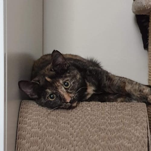 1152 - Kimmy - Domestic Short Hair Cat