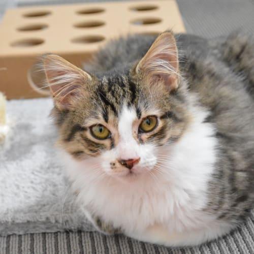 Jack - Domestic Medium Hair Cat