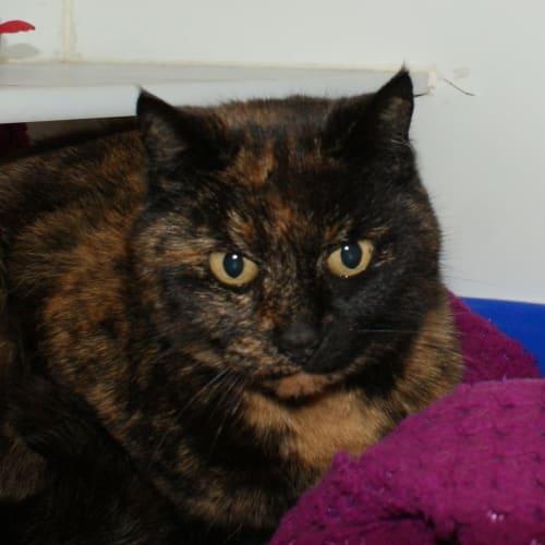 June SUA004092 - Domestic Short Hair Cat