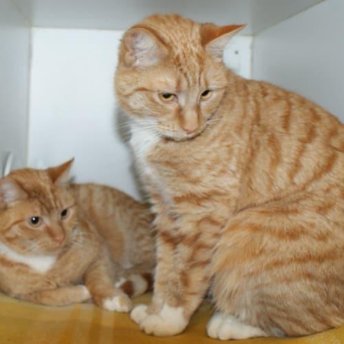 Bella and Chilli sua004068 sua004069 - Domestic Short Hair Cat