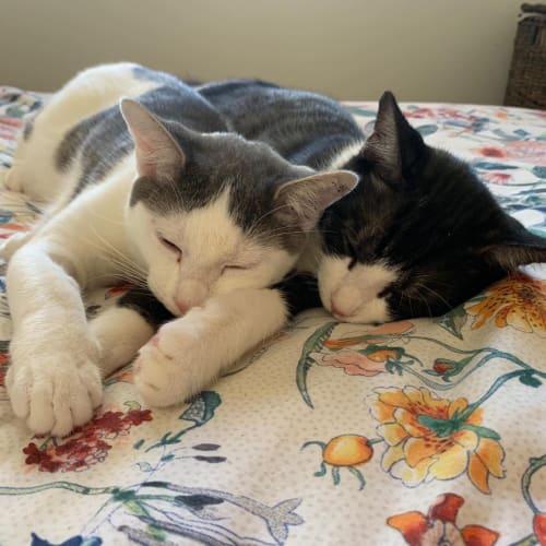 Ringo & Tommy - Domestic Short Hair x Oriental Cat