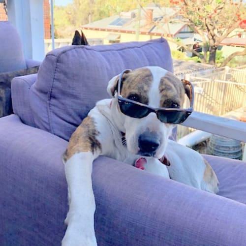 Bindi (& Jessie) - American Bulldog