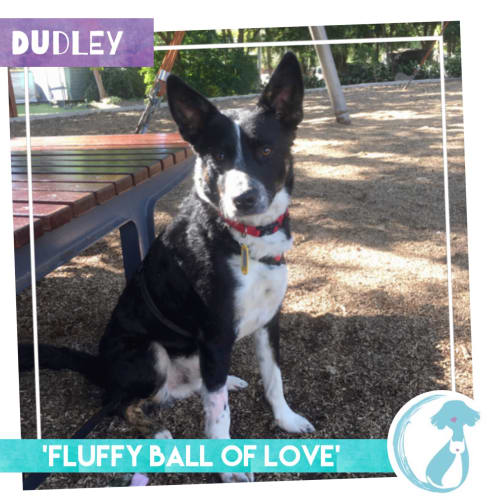 Dudley - Border Collie Dog