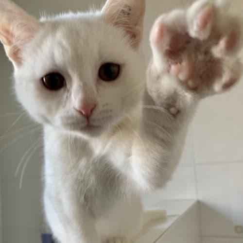 Jack Frost - Domestic Short Hair Cat