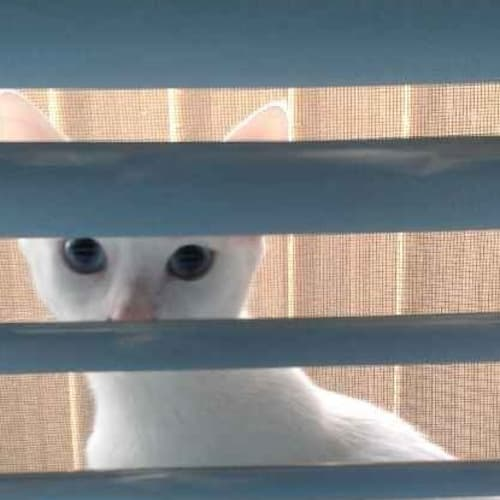 Fidget - Domestic Short Hair Cat