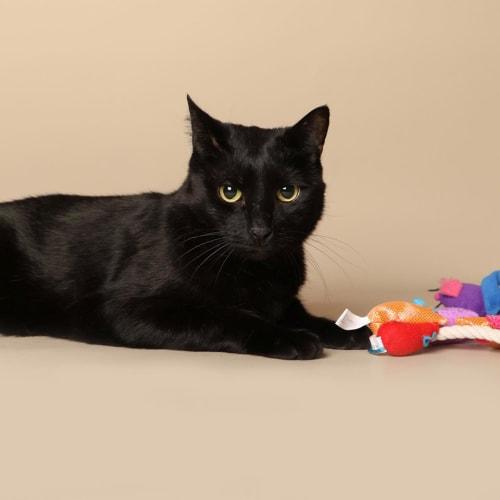 Blacky - Domestic Short Hair Cat