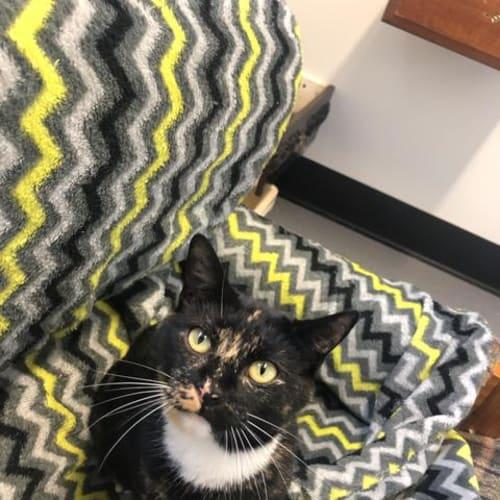 Quinn - Domestic Short Hair Cat