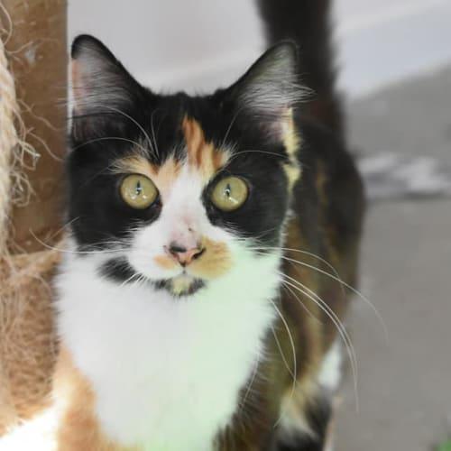 Louise - Domestic Medium Hair Cat