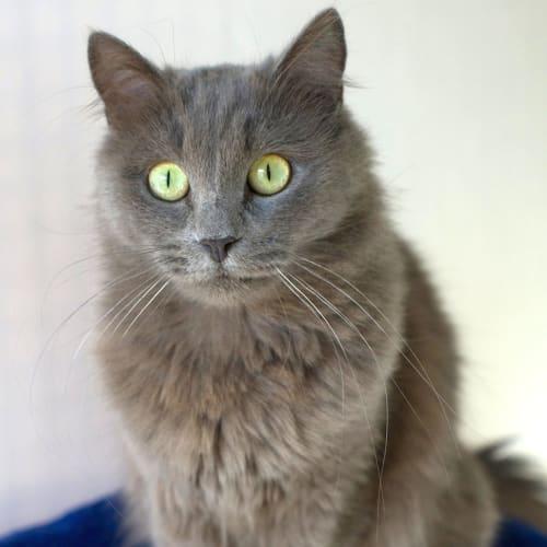Zazu - Domestic Medium Hair Cat
