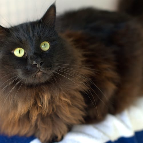 Oliver - Domestic Medium Hair Cat