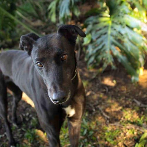 Mac - Greyhound Dog