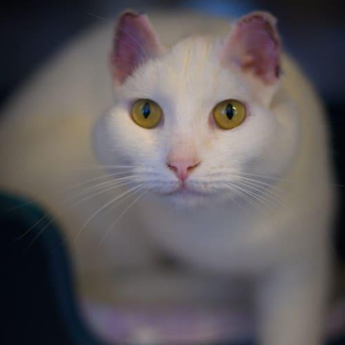 Clare - Domestic Short Hair Cat