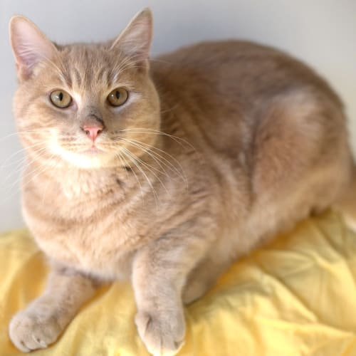 Corbet - Domestic Short Hair Cat