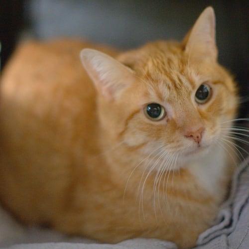 Dennis - Domestic Short Hair Cat