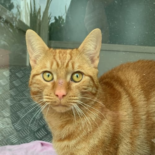 Scooby - Domestic Short Hair Cat