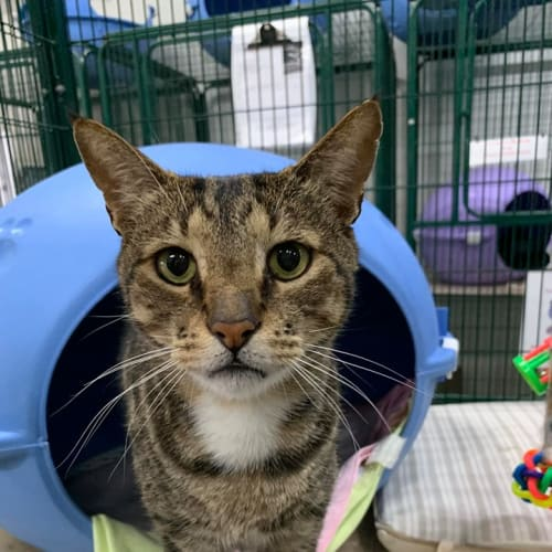 Orlando - Domestic Short Hair Cat