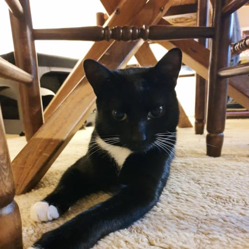 Newman -  Located in Northcote - Domestic Short Hair Cat