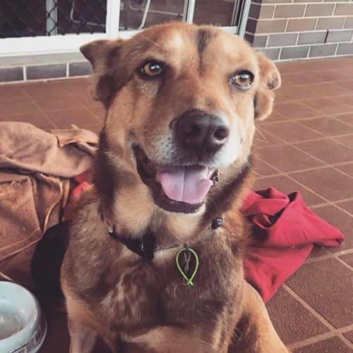 Ruby - Australian Cattle Dog x Kelpie Dog
