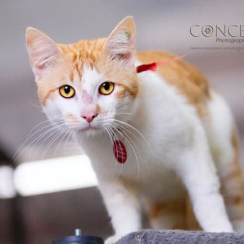 Fanta - Domestic Short Hair Cat