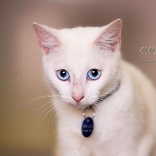 Sprite/Ghost - Domestic Short Hair Cat