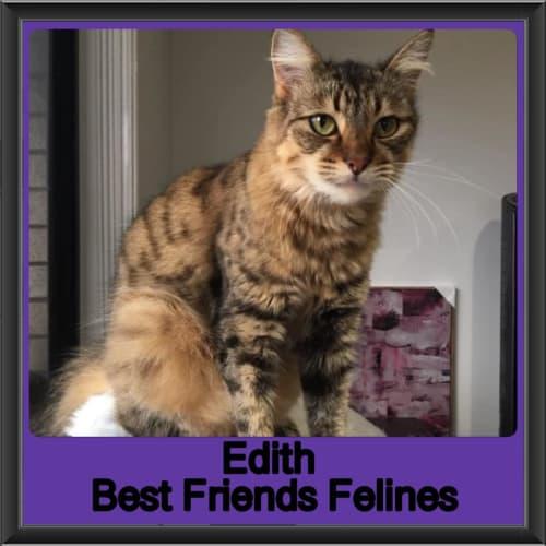Edith - Domestic Medium Hair Cat