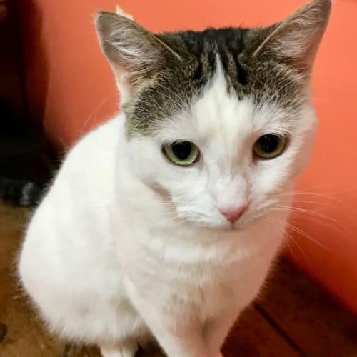Bianca - Domestic Short Hair Cat