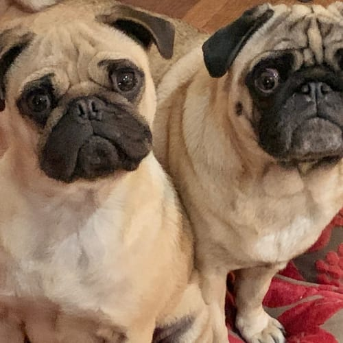 Ellie and Doug the Pug - Pug Dog