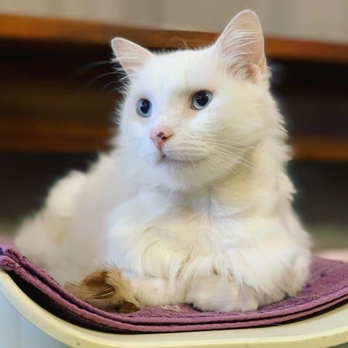 Snowball - Ragdoll Cat