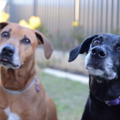 Shilo DL2098 & Rocky DL2099 - Ridgeback Dog