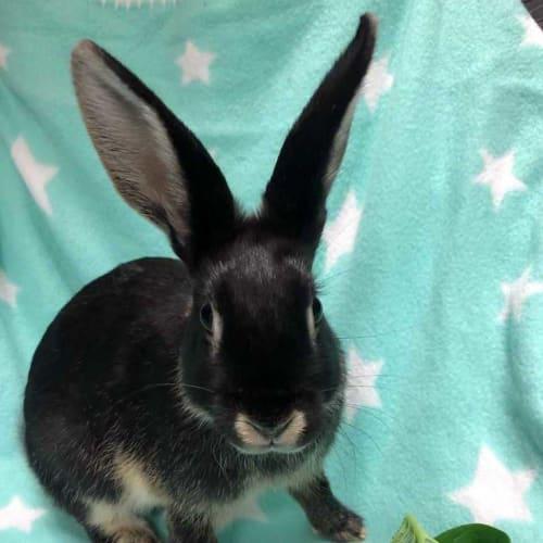 Gouda - Domestic Rabbit