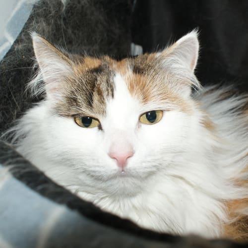 Tootsie SUA004103 - Domestic Long Hair Cat