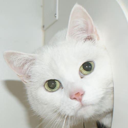 Skittles Rsua001185 - Domestic Short Hair Cat