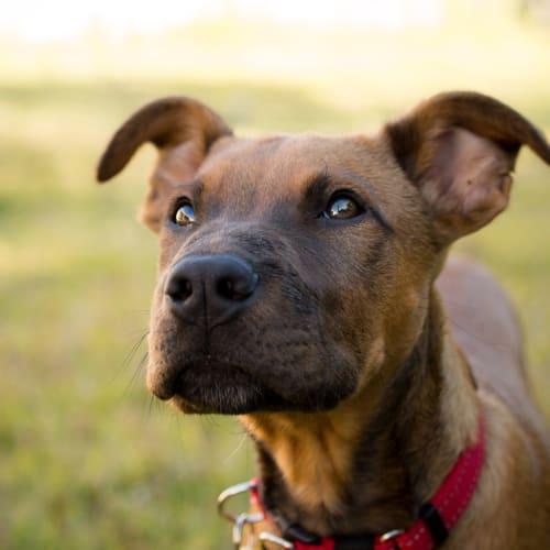 Benson D0056 - Rhodesian Ridgeback x Shar-Pei Dog