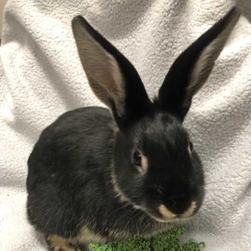 Cheddar - Domestic Rabbit