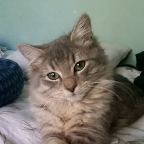 Bjorn (Located in Diamond Creek) - Domestic Long Hair Cat