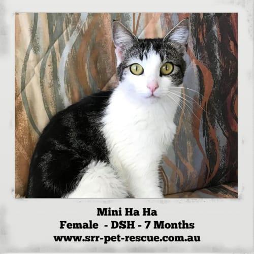 Mini Ha Ha - Domestic Short Hair Cat