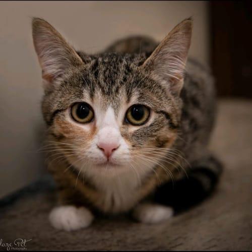 1109 - Ellie - Domestic Short Hair Cat