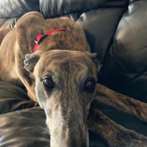 Dreamer - Greyhound Dog