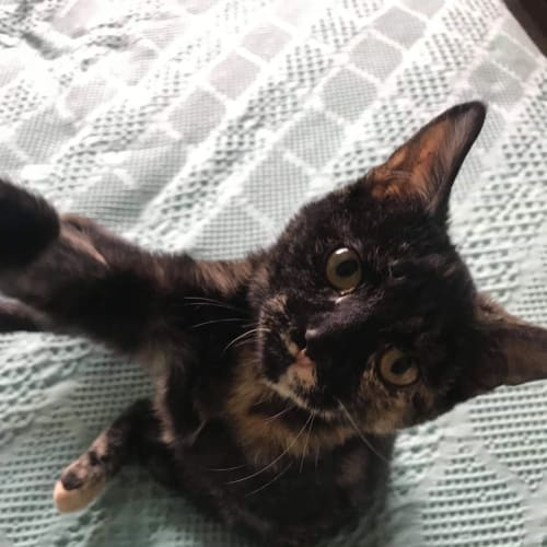 Arya - Domestic Short Hair Cat