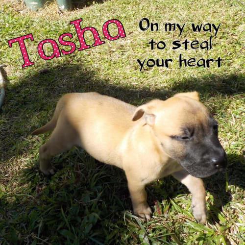 Tasha - Staffy x Ridgeback Dog